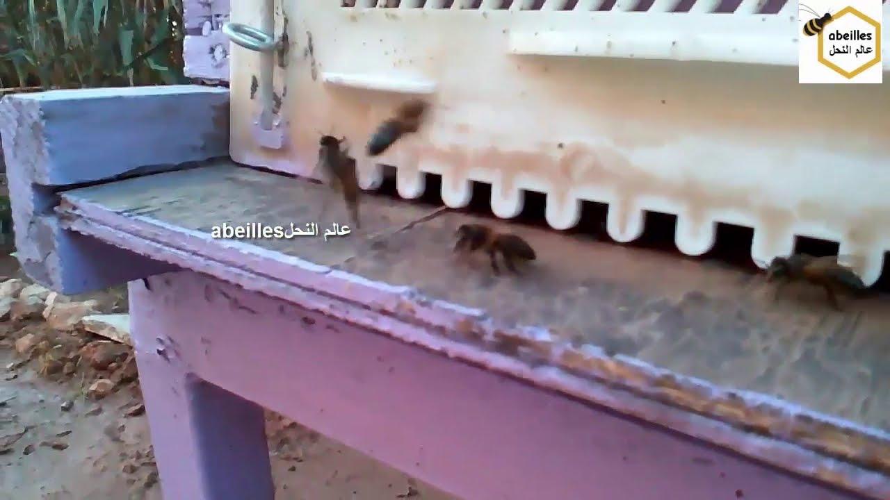 أنواع سلالات النحل Types Of Bee Breeds Youtube
