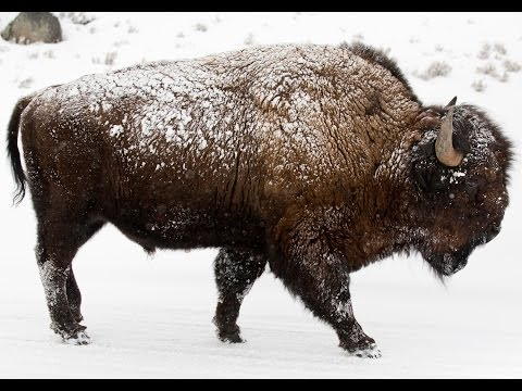 Winter Safari in Yellowstone -  Bison