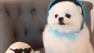 Funny dog sing with toy