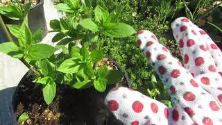 Ура, замечательные, новые растения в моем саду! Прошу совета!