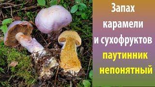 видео Необыкновенный гриб паутинник фиолетовый