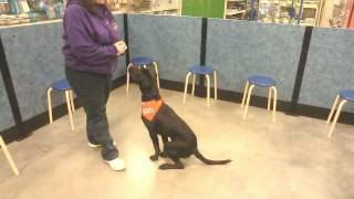 Pop - Labrador Retriever/german Shorthaired Pointer Mix - Wag Animal Rescue