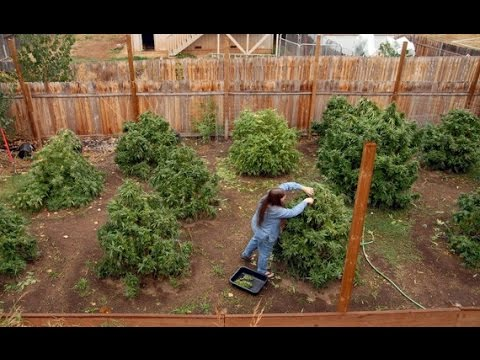 How to Grow 30 Lbs of Pot in Your Backyard (DIY) Pt 1of2