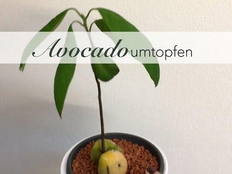 avocado einpflanzen youtube. Black Bedroom Furniture Sets. Home Design Ideas