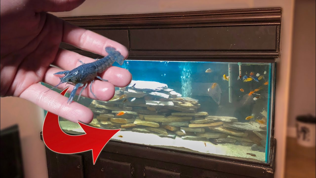 blue-lobster-for-fish-tank