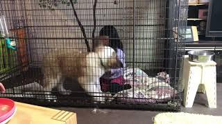 Saint Bernard #セントバーナード #超大型犬 #大型犬 #キング.