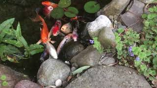 The Secret(s) to Keep Your Pond Crystal Clear | The Barefooted Gardener