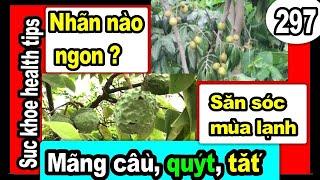 KINH NGHIỆM chủ vườn tỉa cây ăn trái NHÃN trái nứt, MÙA LẠNH, #297 grow care fruit trees