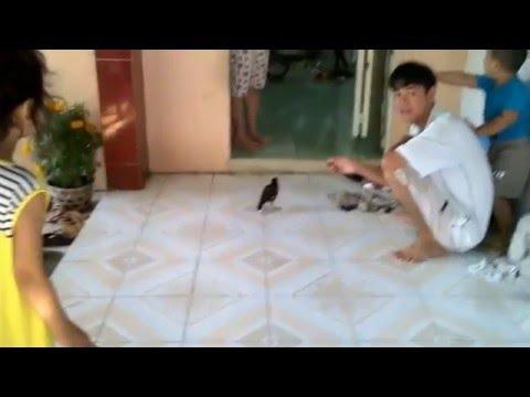 Chim sáo bay vào nhà nói chuyện với chủ nhà