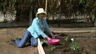 Gardening With Lucy - Growing the Vine: Tomato Planting