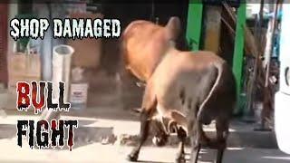 Bull fight on open road