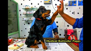Obedient Rottweiler Puppy  Visited My Clinic For Rabies Vaccine | Puppy Visit Vet