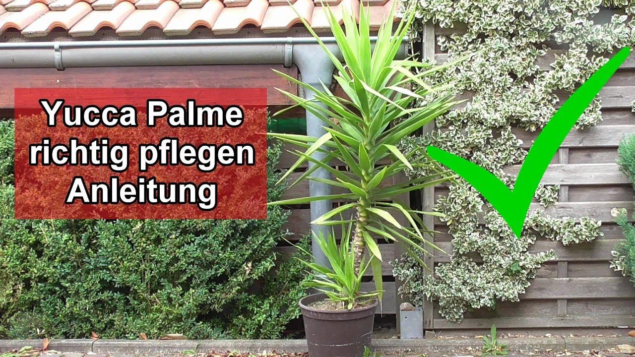 Yucca Palme Abschneiden Video