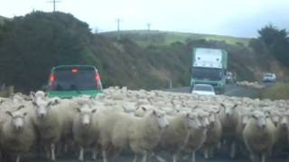Sheep herding in the Catlins, New Zealand Part 1 heading towards the car