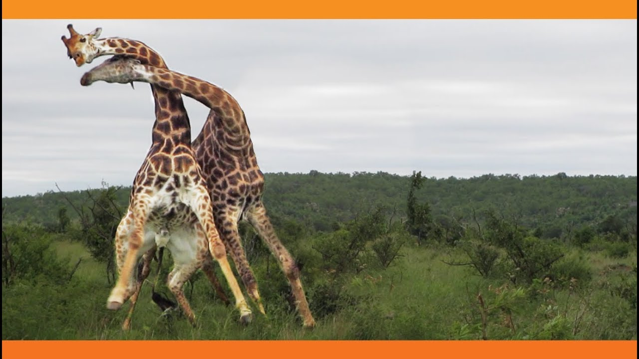 Giraffes Fighting Youtube