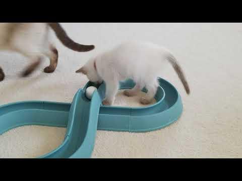 Carrabelle and Anastasias 8 week old kittens.
