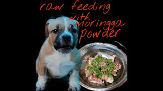 american bully puppy raw feeding with moringga. pilipino style/ dog raw feeding