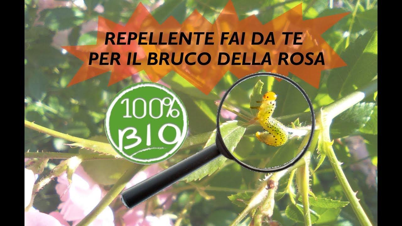 Combattere Afidi Delle Rose insetticida repellente bio per i bruchi della rosa