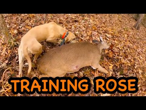 """TRAINING MY BLOOD TRACKING DOG ROSE"""" The Black Mouth Cur""""🤔🤔🤔"""