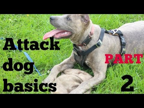 beginnings of bite work part 2 pitbull pit bull shepherd hybrid bully training