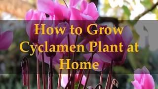 How to Grow Cyclamen Plant at Home