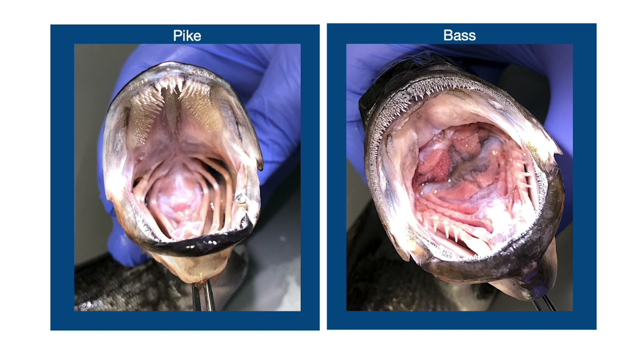 Functional morphology of the feeding apparatus of chain pickerel, Esox niger: Adaptations of...