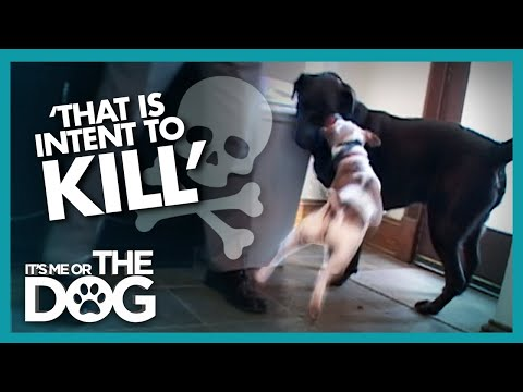 Newly Adopted Labrador is Attacked Every Day   It's Me or the Dog