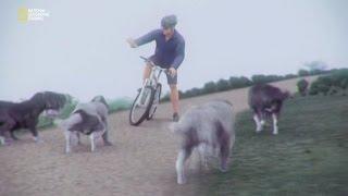 Советы велосипедисту по защите от собак(Фрагмент из серии передач