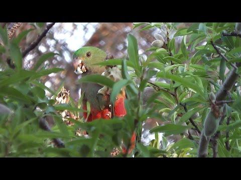 Pretty Australian King Parrots Eating Almonds ♬ ♬