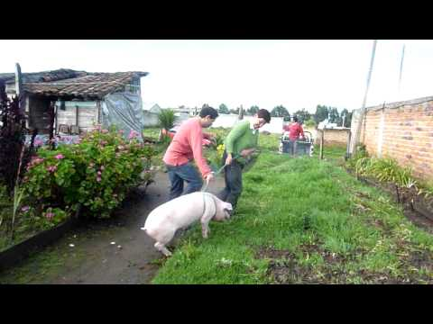 Cayambe. Walking a pig before slaughtering it. A bit loud.