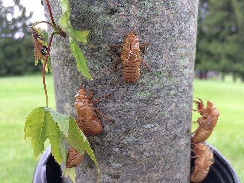 2016 Cicada Invasion, Dresden, OH 43821