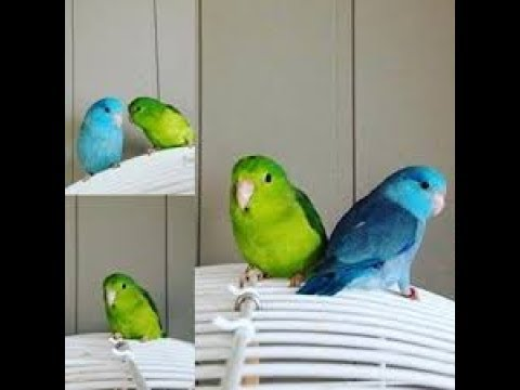 Pacific parrotlet  mating