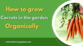 How to grow carrots in the garden organically