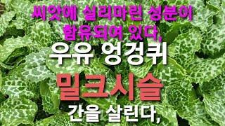 밀크시슬 재배&몇폭 심어보기&간건강에최고