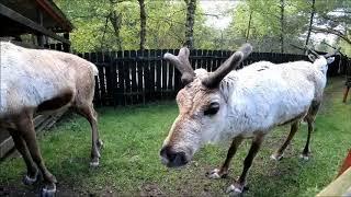 Visit to Cairngorm Reindeer Centre 2019