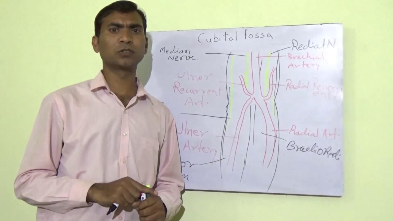 anatomy of cubital fossa - YouTube