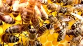 видео Сибирское пчеловодство