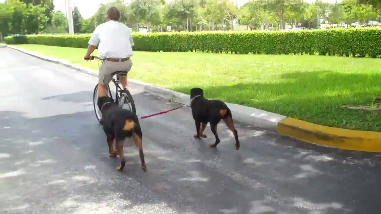 Two Rottweilers Running With The K9 Cruiser Bicycle Leash Youtube