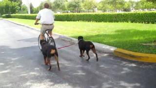 Two Rottweilers Running With The K9 Cruiser Bicycle Leash
