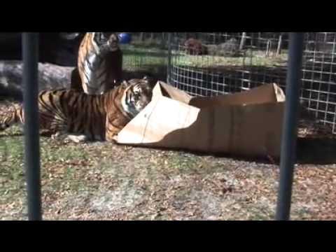 Anche i grandi felini amano le scatole