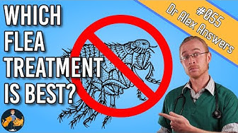 The Best Flea Treatment for Your Dog and Cat (killing fleas + more!) - Dog + Cat Health Vet Advice