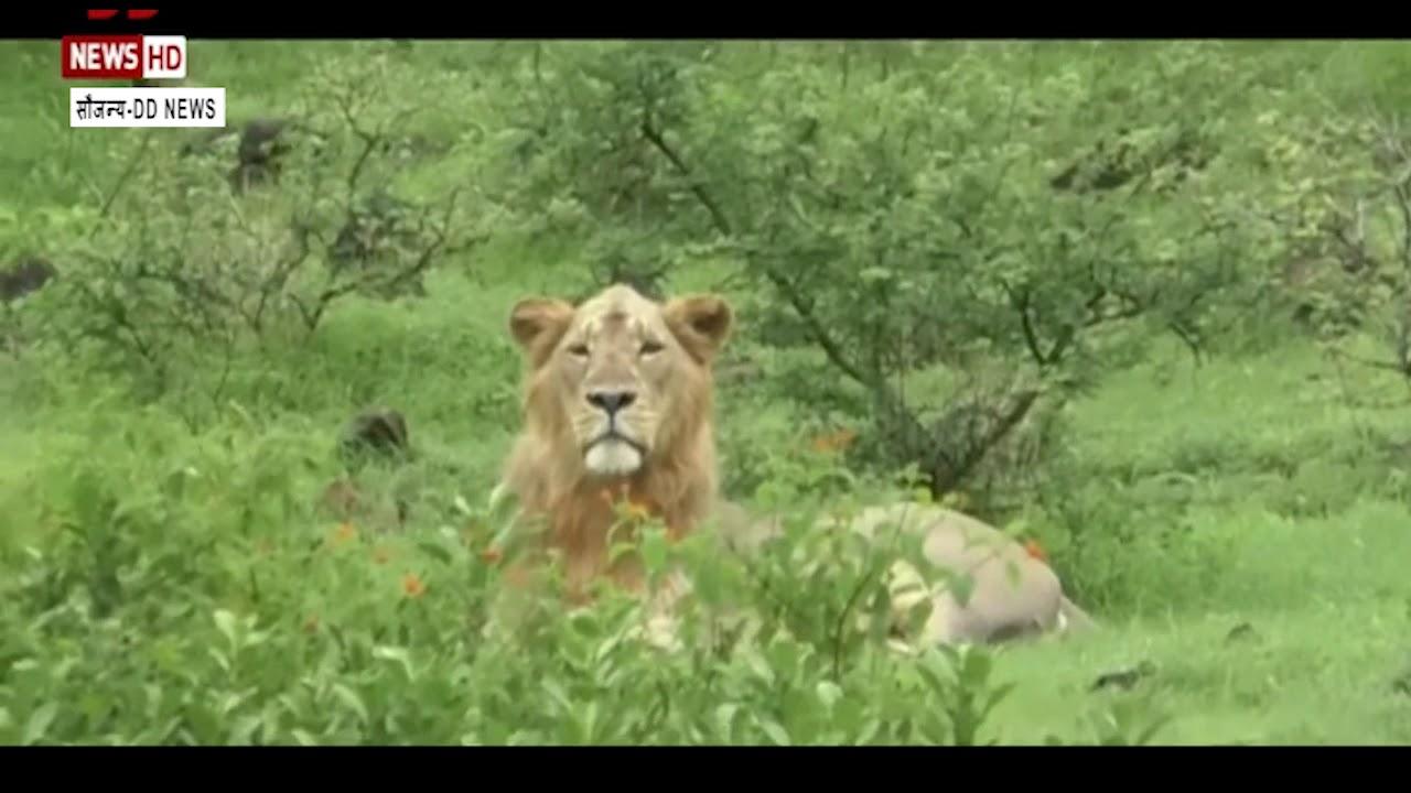 Gujarat- अमरेली में बेपरवाह दिखे शेर,जोरदार बारिश के कारण जंगलों से निकलकर खेतों में टहलते दिखाई दिए