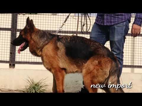 German Shepherd Breeder || Import Dog || Best Breeder In India || Wondershep Kennel || SCOOBERS