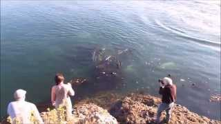 underwater orca whales seen from Galiano Island, BC, Canada