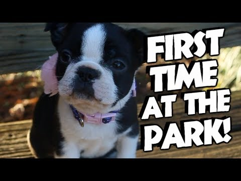 Boston Terrier puppy 6 weeks old!