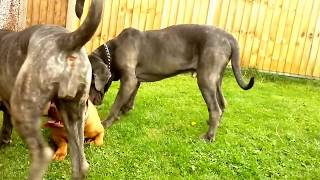 Neapolitan Mastiff Pack Puts Dogue De Bordeaux In Its Place