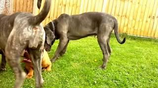 Neapolitan Mastiff Pack Puts Dogue De Bordeaux In Its Place