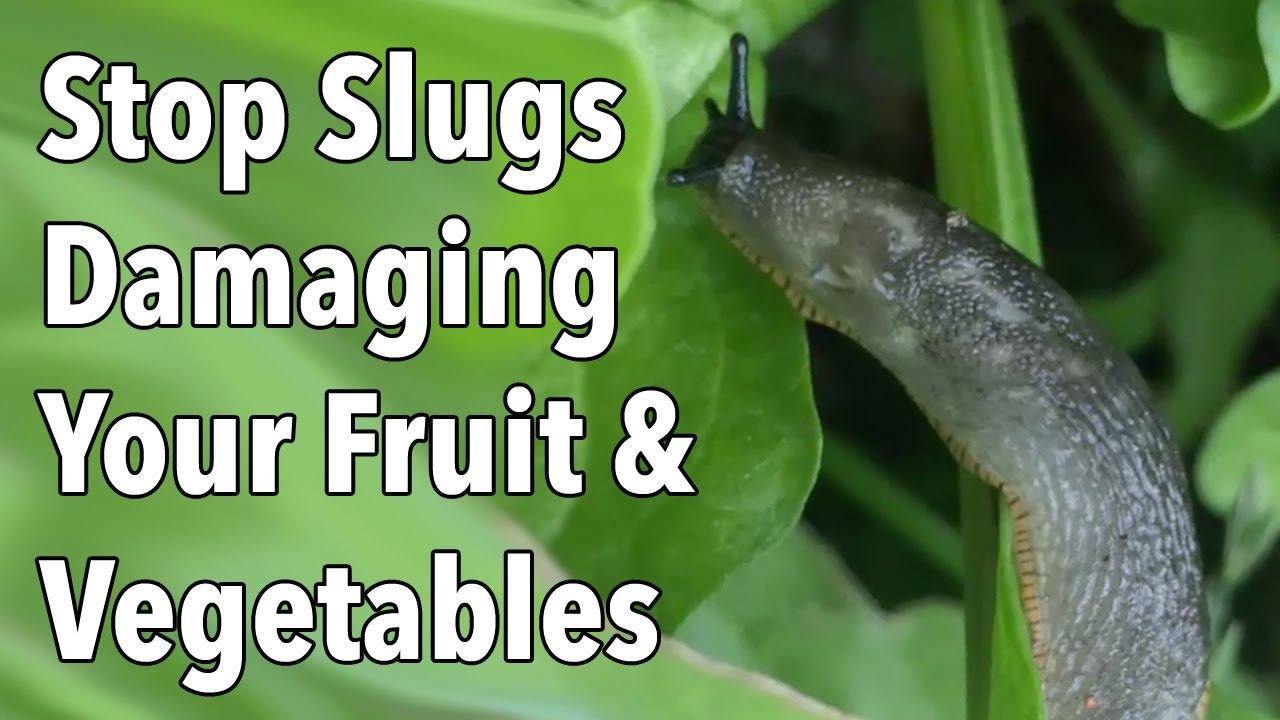 Garden Pests Stop Slug Damage To Your Fruit Vegetables Youtube