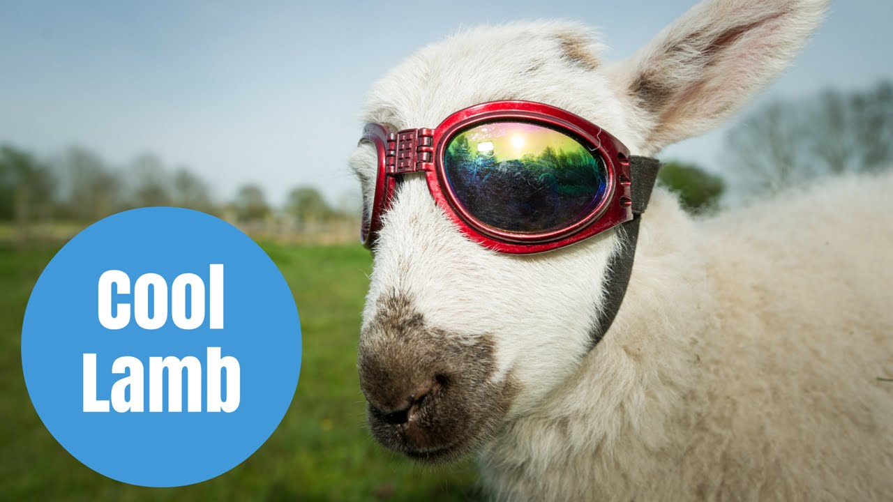Flash the Lamb who has to wear SUNGLASSES to protect his ...