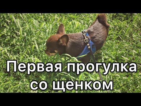 Первая прогулка со щенком. Как сделать первую прогулку идеальной.